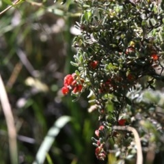 Grevillea alpina (Mountain Grevillea / Cat's Claws Grevillea) at Black Mountain - 11 Sep 2020 by AllanS