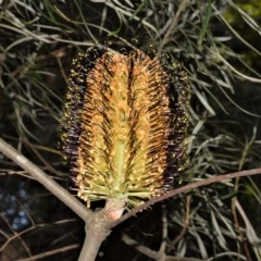 Banksia spinulosa var. cunninghamii (Hairpin Banksia) at Morton National Park - 11 Sep 2020 by plants