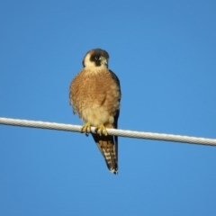 Falco longipennis (Australian Hobby) at Jerrabomberra Wetlands - 11 Sep 2020 by RodDeb