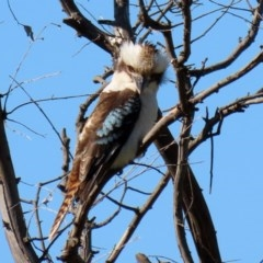 Dacelo novaeguineae (Laughing Kookaburra) at Jerrabomberra Wetlands - 11 Sep 2020 by RodDeb