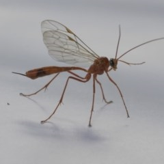 Enicospilus sp. (genus) (An ichneumon wasp) at Higgins, ACT - 11 Sep 2020 by AlisonMilton