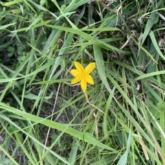 Hypoxis hygrometrica var. villosisepala (Golden weather grass) at Nanima, NSW - 12 Sep 2020 by 81mv