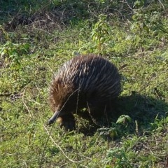 Tachyglossus aculeatus (Short-beaked Echidna) at Brogo, NSW - 11 Sep 2020 by JackieMiles