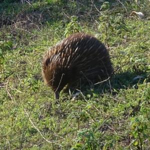 Tachyglossus aculeatus at Brogo, NSW - 11 Sep 2020
