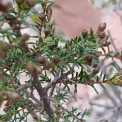 Dillwynia phylicoides at Aranda Bushland - 13 Sep 2020