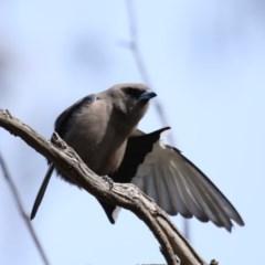 Artamus cyanopterus (Dusky Woodswallow) at Mount Ainslie - 12 Sep 2020 by jbromilow50
