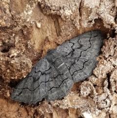 Melanodes anthracitaria at Aranda Bushland - 13 Sep 2020