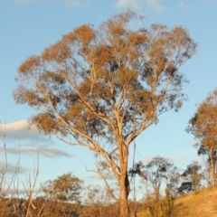 Eucalyptus melliodora (Yellow Box) at Gigerline Nature Reserve - 17 May 2020 by michaelb