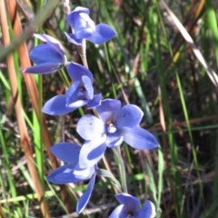 Thelymitra ixioides (Dotted Sun Orchid) at South Pacific Heathland Reserve - 15 Sep 2020 by CBrandis