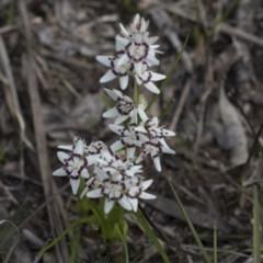 Wurmbea dioica subsp. dioica (Early Nancy) at Flea Bog Flat, Bruce - 12 Sep 2020 by AlisonMilton