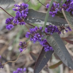 Hardenbergia violacea at Flea Bog Flat, Bruce - 12 Sep 2020