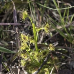 Drosera sp. at Flea Bog Flat, Bruce - 12 Sep 2020 by AlisonMilton