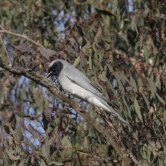 Coracina novaehollandiae (Black-faced Cuckooshrike) at Flea Bog Flat, Bruce - 12 Sep 2020 by Alison Milton