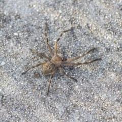 Neosparassus sp. (genus) (Unidentified Badge huntsman) at Bruce, ACT - 12 Sep 2020 by AlisonMilton