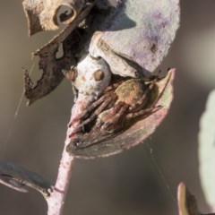 Araneinae (subfamily) (Orb weaver) at Flea Bog Flat, Bruce - 12 Sep 2020 by AlisonMilton