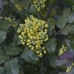 Berberis aquifolium (Oregon grape) at Flea Bog Flat, Bruce - 12 Sep 2020 by AlisonMilton