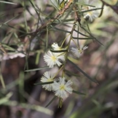 Acacia genistifolia (Early Wattle) at Flea Bog Flat, Bruce - 12 Sep 2020 by AlisonMilton