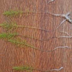 Asparagus officinalis (Asparagus) at Wamboin, NSW - 13 Jun 2020 by natureguy