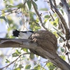Grallina cyanoleuca (Magpie-lark) at Macquarie, ACT - 10 Sep 2020 by AlisonMilton