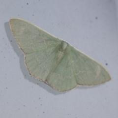 Prasinocyma semicrocea (Common Gum Emerald) at Higgins, ACT - 10 Sep 2020 by AlisonMilton