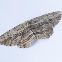 Ectropis (genus) (An engrailed moth) at Higgins, ACT - 11 Sep 2020 by AlisonMilton
