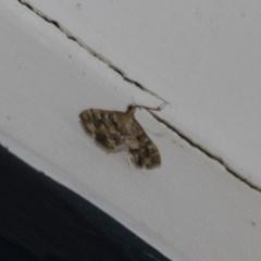 Nacoleia rhoeoalis (A Pyralid Moth) at Higgins, ACT - 2 Mar 2020 by AlisonMilton