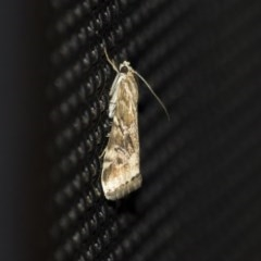 Hellula hydralis (Cabbage Centre Moth) at Higgins, ACT - 31 Mar 2020 by AlisonMilton