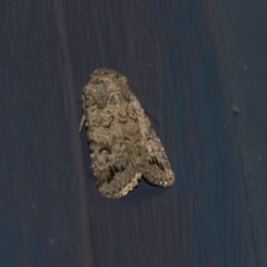 Proteuxoa capularis (Half-moon Noctuid) at Higgins, ACT - 6 Mar 2020 by AlisonMilton