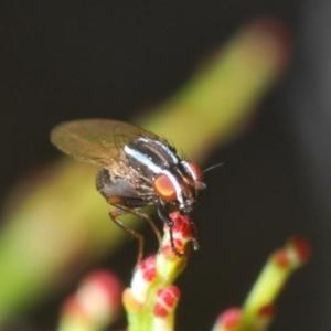 Lauxaniidae sp. (family) at Dryandra St Woodland - 13 Sep 2020