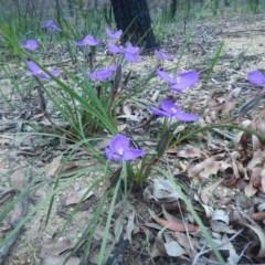 Patersonia sericea var. sericea (Silky Purple Flag) at Meroo National Park - 13 Sep 2020 by GLemann