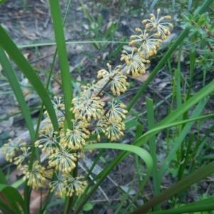 Lomandra multiflora subsp. multiflora at Meroo National Park - 13 Sep 2020