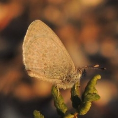 Zizina otis (Common Grass-blue) at Gigerline Nature Reserve - 17 May 2020 by michaelb
