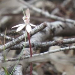 Caladenia fuscata (Dusky fingers) at Kambah Pool - 13 Sep 2020 by SandraH