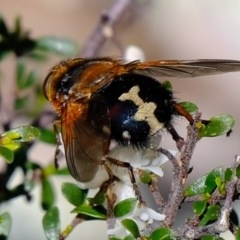 Microtropesa sp. (genus) (Tachinid fly) at Woodstock Nature Reserve - 14 Sep 2020 by Kurt