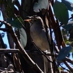 Colluricincla harmonica (Grey Shrikethrush) at Woodstock Nature Reserve - 14 Sep 2020 by Kurt