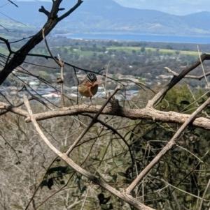 Pardalotus punctatus at Red Light Hill Reserve - 14 Sep 2020