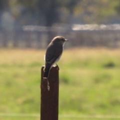 Microeca fascinans (Jacky Winter) at Pambula, NSW - 14 Sep 2020 by LizAllen