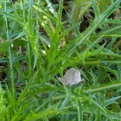 Goniaea sp. (genus) (Gumleaf Grasshopper) at Red Light Hill Reserve - 14 Sep 2020 by ChrisAllen