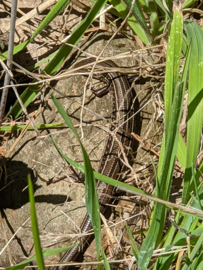 Ctenotus robustus at Red Light Hill Reserve - 14 Sep 2020
