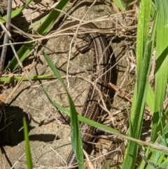 Ctenotus robustus (Large Striped Skink) at Red Light Hill Reserve - 14 Sep 2020 by ChrisAllen