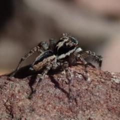 Jotus sp. (genus) (Unidentified Jotus Jumping Spider) at Wee Jasper, NSW - 14 Sep 2020 by Laserchemisty