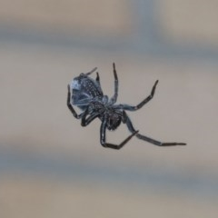 Badumna insignis (Black House Spider) at Higgins, ACT - 7 Sep 2020 by AlisonMilton