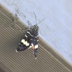 Phalaenoides glycinae (Grapevine Moth) at Higgins, ACT - 6 Sep 2020 by AlisonMilton