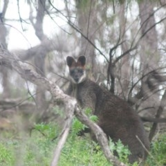 Wallabia bicolor (Swamp Wallaby) at Tuena, NSW - 13 Sep 2020 by SthTallagandaSurvey