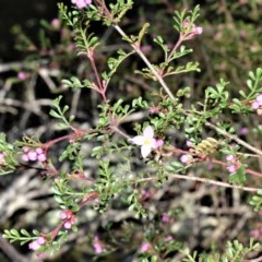 Boronia microphylla (Small-leaved Boronia) at Wingecarribee Local Government Area - 14 Sep 2020 by plants