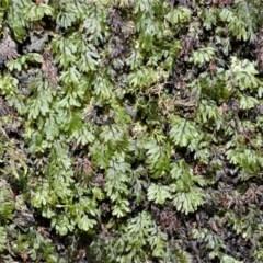 Hymenophyllum cupressiforme (Common Filmy Fern) at Meryla, NSW - 14 Sep 2020 by plants
