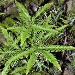 Sticherus flabellatus (Shiny Fan-fern, Umbrella Fern) at Meryla, NSW - 14 Sep 2020 by plants