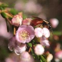 Exoneura sp. (genus) at ANBG - 14 Sep 2020