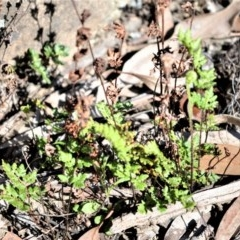 Cheilanthes distans (Bristly cloak fern) at Meryla, NSW - 14 Sep 2020 by plants