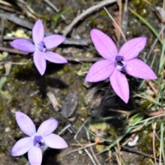 Glossodia minor (Small Waxlip Orchid) at Meryla State Forest - 14 Sep 2020 by plants